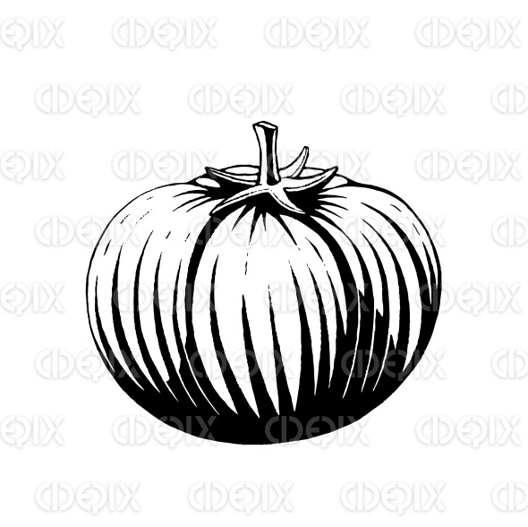 Vectorized Ink Sketch of a Tomato stock illustration